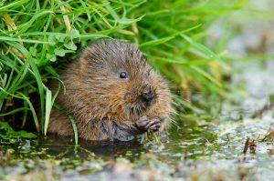 Water Vole by Peter Trimmings